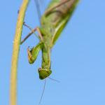 #002 - Europäische Gottesanbeterin (Mantis religiosa) ♀