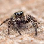 # 028 - Dendryphantes rudis, ♂