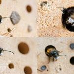 Gehörnte Mauerbiene (Osmia cornuta), männlich