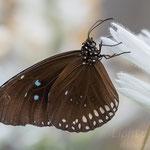#005 - Gemeine Krähe (Euploea core)