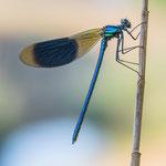 #051 - Gebänderte Prachtlibelle (Calopteryx splendens) ♂