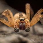 # 015 - Kräuseljagdspinne (Zoropsis spinimana), ♂