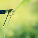 #019 - Gebänderte Prachtlibelle (Calopteryx splendens), männlich