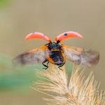 #001 - Abflug - Siebenpunkt-Marienkäfer (Coccinella septempunctata)