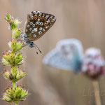 #021 - Silbergrüner Bläuling (Polyommatus coridon) ♀ (♂ im Hintergrund)
