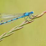 #024 - Gemeine Becherjungfer (Enallagma cyathigerum), männlich