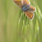 #017 - Hauhechel-Bläuling (Polyommatus icarus)  ♀