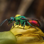 #005 - Goldwespe  (Chrysididae)