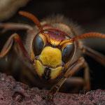 #008 - Hornisse (Vespa crabro)