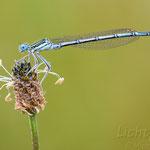 #028 - Blaue Federlibelle (Platycnemis pennipes), männlich