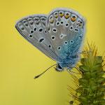 #005 - Hauhechel-Bläuling (Polyommatus icarus)