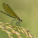 #011 - Gebänderte Prachtlibelle (Calopteryx splendens), weiblich