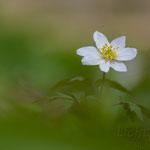 #016 - Buschwindröschen (Anemone nemorosa)
