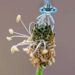 #029 - Blaue Federlibelle (Platycnemis pennipes), männlich