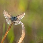#003 - Hauhechel-Bläuling (Polyommatus icarus)