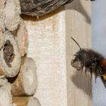 """Gehörnte Mauerbiene (Osmia cornuta), Anflug mit """"Mörtel"""""""