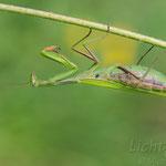 #004 - Europäische Gottesanbeterin (Mantis religiosa) ♀