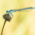 #039 - Blaue Federlibelle (Platycnemis pennipes) ♂