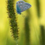 #011 - Hauhechel-Bläuling (Polyommatus icarus)
