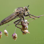 #011 - Schlichte Raubfliege (Machimus rusticus) ♀