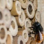 Gehörnte Mauerbiene (Osmia cornuta) beim verschließen der Nistkammer