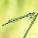 # 044 - Blaue Federlibelle (Platycnemis pennipes) ♂