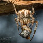 # 036 - Gartenkreuzspinne (Araneus diadematus), ♀