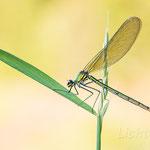 #050 - Gebänderte Prachtlibelle (Calopteryx splendens) ♀