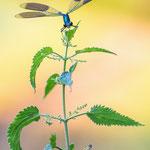 #047 - Gebänderte Prachtlibelle (Calopteryx splendens) ♂
