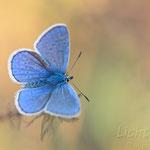 #016 - Hauhechel-Bläuling (Polyommatus icarus) ♂