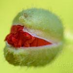 #008 - Klatschmohn (Papaver rhoeas)