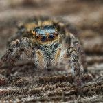 # 040 - Wipfelspringer (Carrhotus xanthogramma), ♀