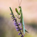 #006 - Europäische Gottesanbeterin (Mantis religiosa)  ♂