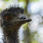 #015 - Emu, Portrait 1