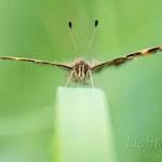 #008 - Landkärtchen (Araschnia levana), Frühjahrsgeneration