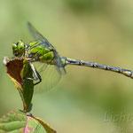 #001 - Grüne Flussjungfer (Ophiogomphus cecilia), männlich