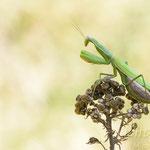 #005 - Europäische Gottesanbeterin (Mantis religiosa)  ♀