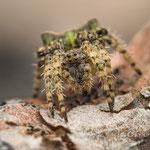 # 048 - Grüne Buckelkreuzspinne (Gibbaranea gibbosa), ♀