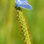 #006 - Hauhechel-Bläuling (Polyommatus icarus)