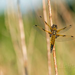 #004 - Vierfleck (Libellula quadrimaculata)