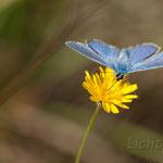 #002 - Hauhechel-Bläuling (Polyommatus icarus)
