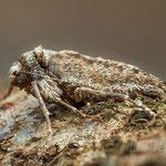 #001 - Weißgrauer Breitflügelspanner (Agriopis leucophaearia), ♀