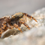 # 046 - Haus-Keilspringer (Pseudeuophrys lanigera), juvenil