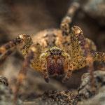 # 025 - Kräuseljagdspinne (Zoropsis spinimana), ♀