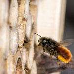 #005 - Gehörnte Mauerbiene (Osmia cornuta) ♀