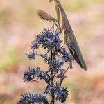 #009 - Europäische Gottesanbeterin (Mantis religiosa)  ♀