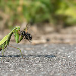 #003 - Europäische Gottesanbeterin (Mantis religiosa)