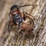 # 049 - Großer Ameisenspringer (Leptorchestes berolinensis), ♀