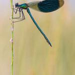 #031 - Gebänderte Prachtlibelle (Calopteryx splendens) ♂