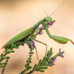 #010 - Europäische Gottesanbeterin (Mantis religiosa)  ♀